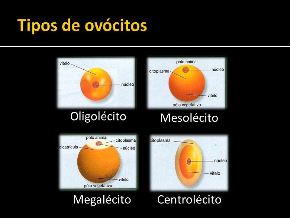 Oligolécito Centrolécito Mesolécito Megalécito