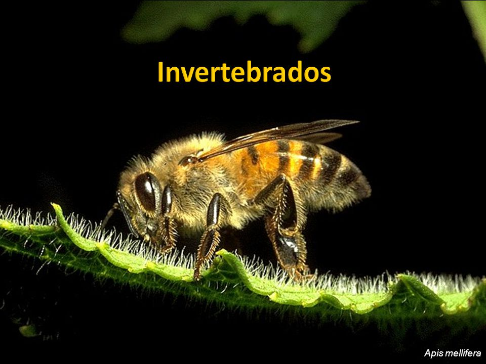 BRUSCA, G.J., BRUSCA, R. C. Invertebrados, 2. ed.