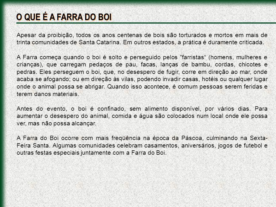 Apesar da proibição, todos os anos centenas de bois são torturados e mortos em mais de trinta comunidades de Santa Catarina.