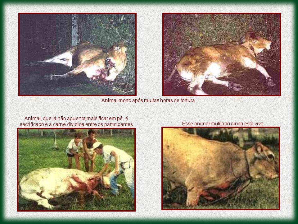 Esse animal mutilado ainda está vivo Animal morto após muitas horas de tortura Animal, que já não agüenta mais ficar em pé, é sacrificado e a carne dividida entre os participantes