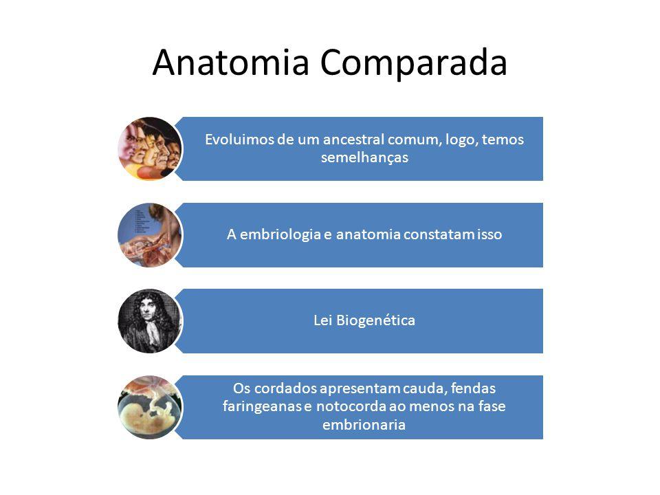 Anatomia Comparada Evoluimos de um ancestral comum, logo, temos semelhanças A embriologia e anatomia constatam isso Lei Biogenética Os cordados aprese