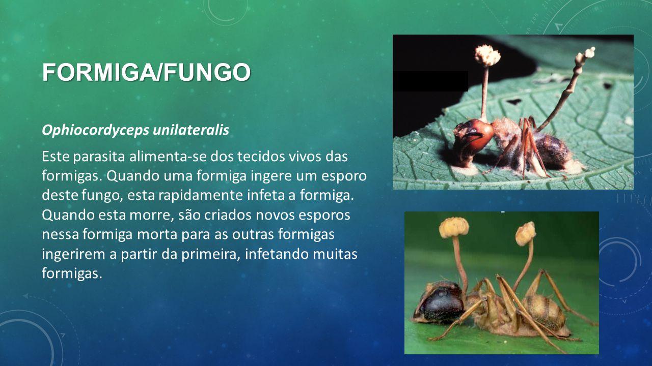 FORMIGA/FUNGO Ophiocordyceps unilateralis Este parasita alimenta-se dos tecidos vivos das formigas. Quando uma formiga ingere um esporo deste fungo, e