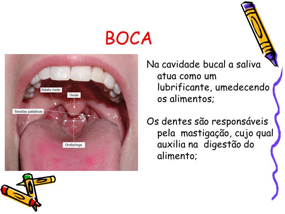 BOCA Na cavidade bucal a saliva atua como um lubrificante, umedecendo os alimentos; Os dentes são responsáveis pela mastigação, cujo qual auxilia na digestão do alimento;
