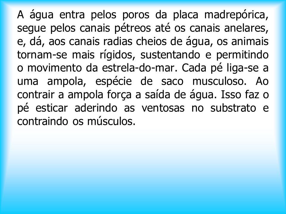 EXCREÇÃO: ► Não possuem- os excretas são eliminados por difusão pelo sistema ambulacrário e pelas brânquias. LOCOMOÇÃO: ► Todos, menos o lírio-do-mar.