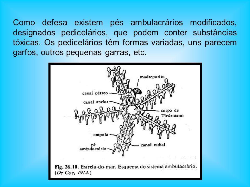 Na extremidade interna de cada pé ambulacrário existe uma ampola ambulacrária, musculosa, que injecta água no pé, fazendo-o distender-se. O funcioname