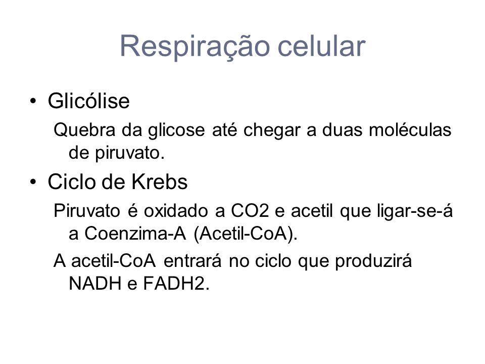 Respiração celular Glicólise Quebra da glicose até chegar a duas moléculas de piruvato.