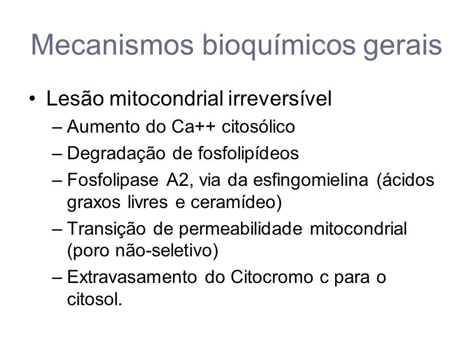 Mecanismos bioquímicos gerais Lesão mitocondrial irreversível –Aumento do Ca++ citosólico –Degradação de fosfolipídeos –Fosfolipase A2, via da esfingomielina (ácidos graxos livres e ceramídeo) –Transição de permeabilidade mitocondrial (poro não-seletivo) –Extravasamento do Citocromo c para o citosol.