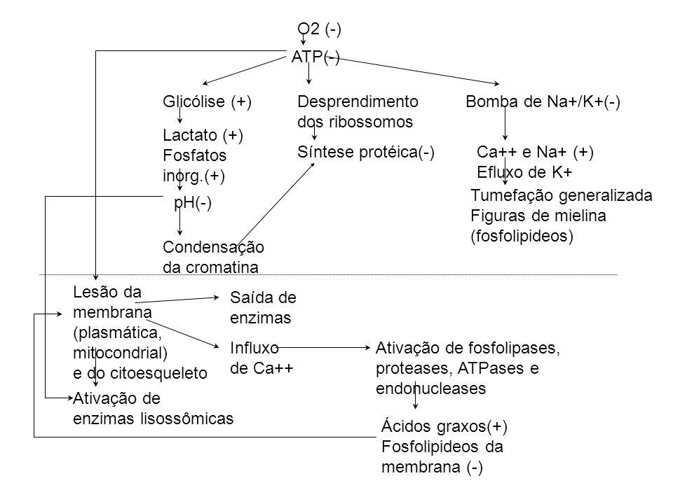 O2 (-) ATP(-) Glicólise (+) Lactato (+) Fosfatos inorg.(+) pH(-) Condensação da cromatina Desprendimento dos ribossomos Síntese protéica(-) Bomba de Na+/K+(-) Ca++ e Na+ (+) Efluxo de K+ Tumefação generalizada Figuras de mielina (fosfolipideos) Lesão da membrana (plasmática, mitocondrial) e do citoesqueleto Ativação de enzimas lisossômicas Saída de enzimas Influxo de Ca++ Ativação de fosfolipases, proteases, ATPases e endonucleases Ácidos graxos(+) Fosfolipideos da membrana (-)