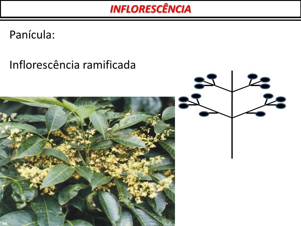 Panícula: Inflorescência ramificada INFLORESCÊNCIA