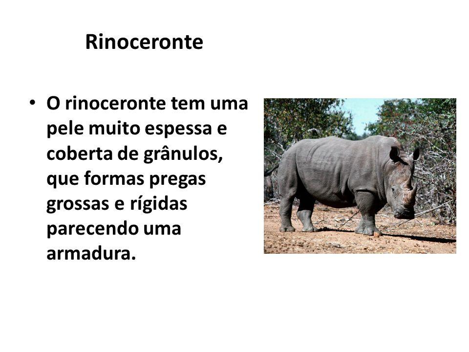 Rinoceronte O rinoceronte tem uma pele muito espessa e coberta de grânulos, que formas pregas grossas e rígidas parecendo uma armadura.