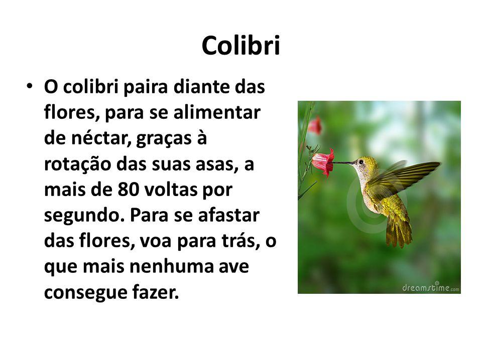 Colibri O colibri paira diante das flores, para se alimentar de néctar, graças à rotação das suas asas, a mais de 80 voltas por segundo. Para se afast