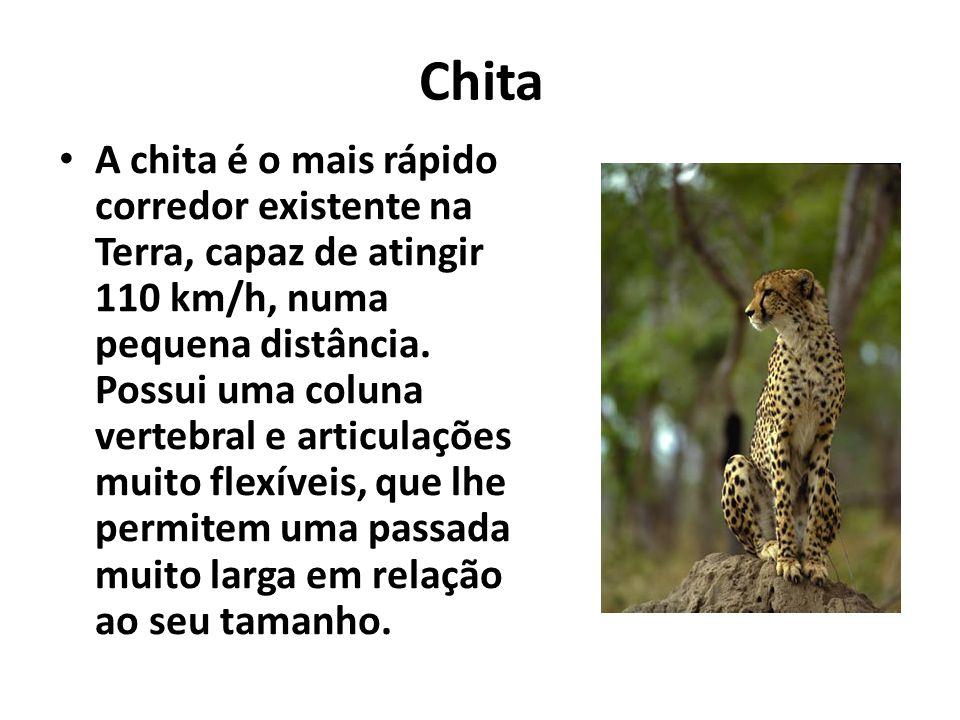 Chita A chita é o mais rápido corredor existente na Terra, capaz de atingir 110 km/h, numa pequena distância. Possui uma coluna vertebral e articulaçõ