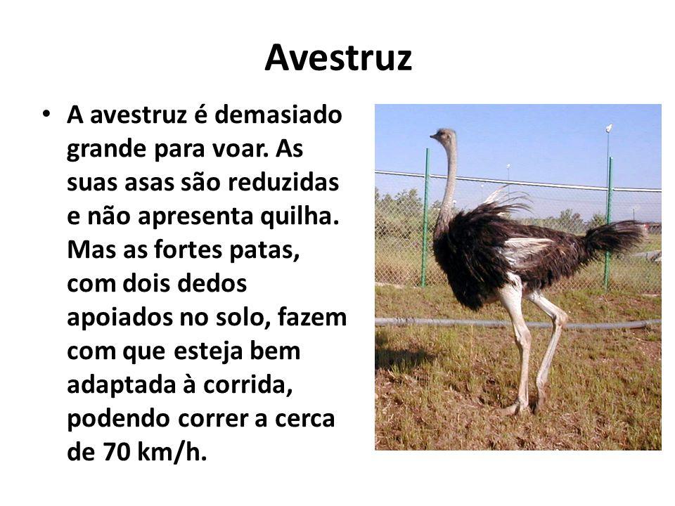Avestruz A avestruz é demasiado grande para voar. As suas asas são reduzidas e não apresenta quilha. Mas as fortes patas, com dois dedos apoiados no s