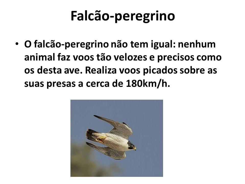 Falcão-peregrino O falcão-peregrino não tem igual: nenhum animal faz voos tão velozes e precisos como os desta ave. Realiza voos picados sobre as suas