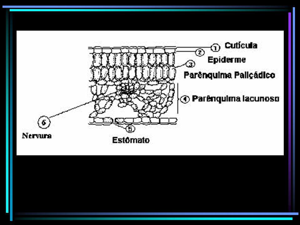 Transpiração estomática (Te) Corresponde em média 90% da Transpiração total (Tt) Rápida, intensa e sob o controle voluntário da planta Transpiração cuticular A cutícula não é perfeitamente impermeável à água (poros - região frágil).