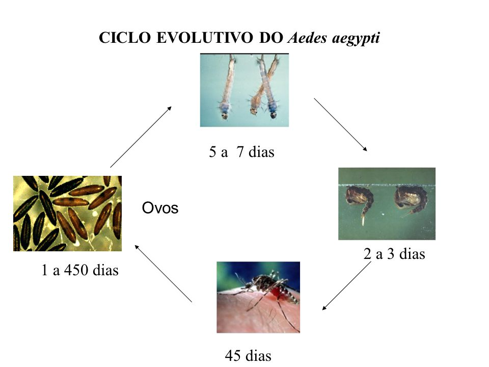 CICLO EVOLUTIVO DO Aedes aegypti 5 a 7 dias 2 a 3 dias 45 dias 1 a 450 dias Ovos