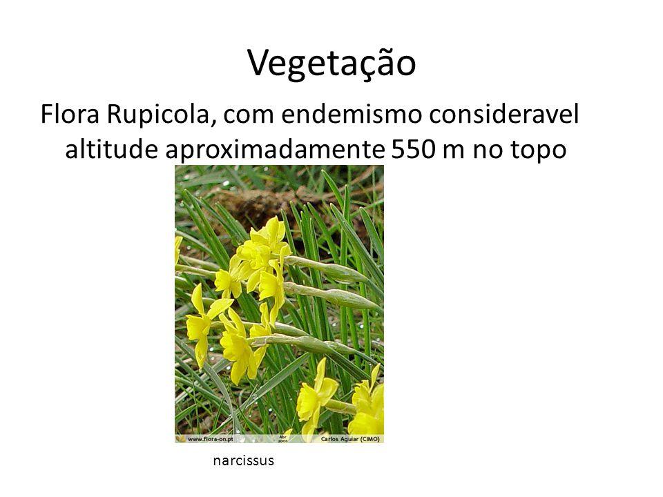 Vegetação Flora Rupicola, com endemismo consideravel altitude aproximadamente 550 m no topo narcissus