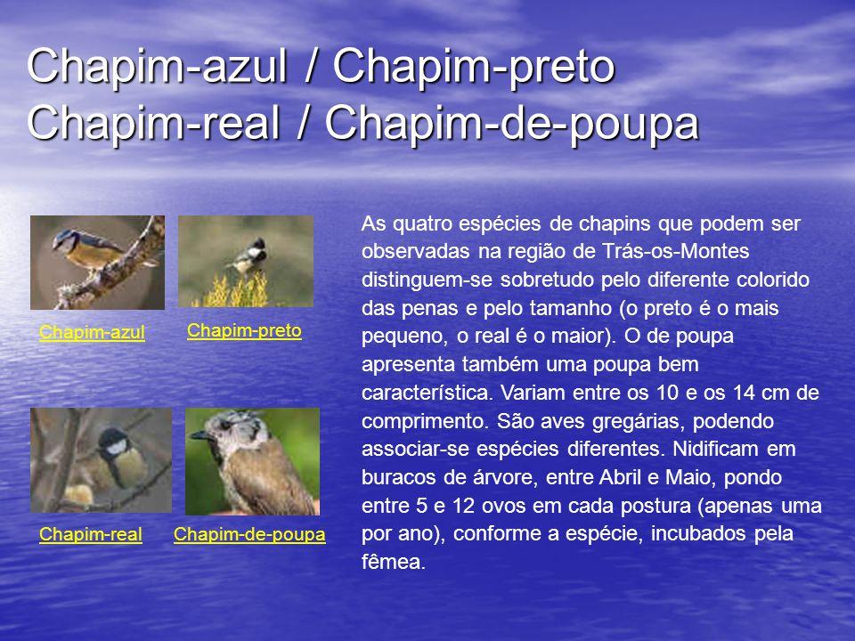 Chapim-azul / Chapim-preto Chapim-real / Chapim-de-poupa Chapim-azul Chapim-preto Chapim-realChapim-de-poupa As quatro espécies de chapins que podem ser observadas na região de Trás-os-Montes distinguem-se sobretudo pelo diferente colorido das penas e pelo tamanho (o preto é o mais pequeno, o real é o maior).