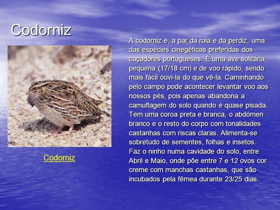 Codorniz A codorniz é, a par da rola e da perdiz, uma das espécies cinegéticas preferidas dos caçadores portugueses.