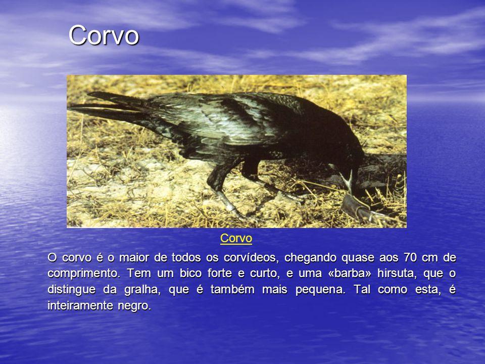 Corvo O corvo é o maior de todos os corvídeos, chegando quase aos 70 cm de comprimento.