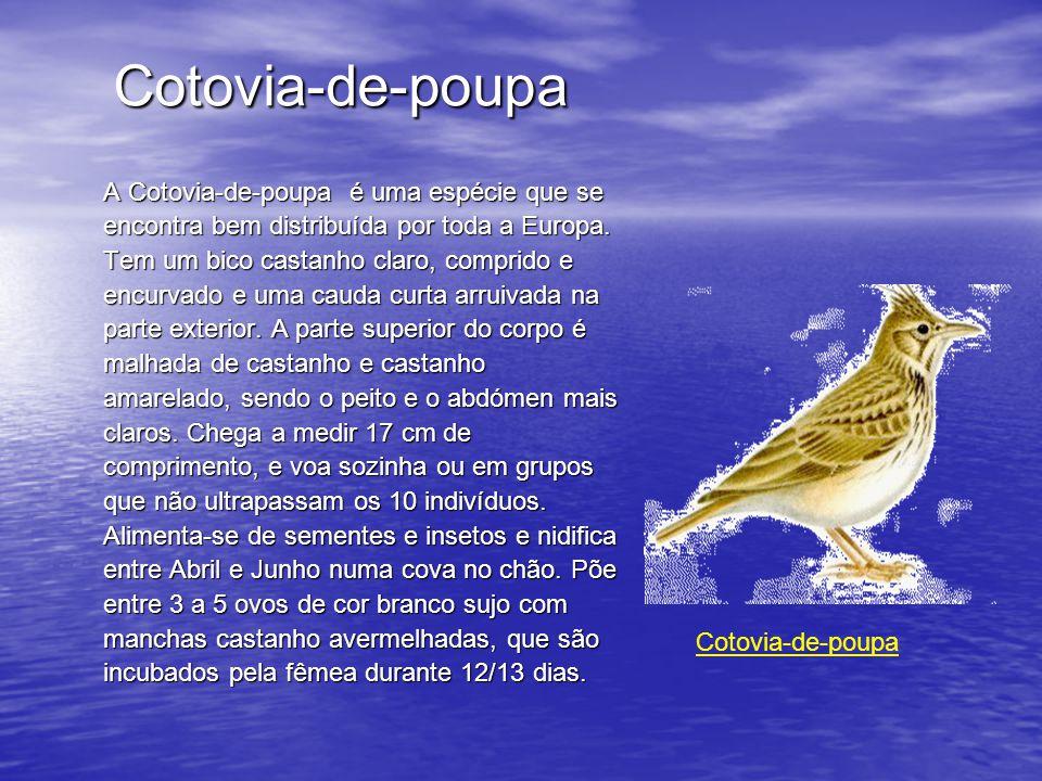 Cotovia-de-poupa A Cotovia-de-poupa é uma espécie que se encontra bem distribuída por toda a Europa.