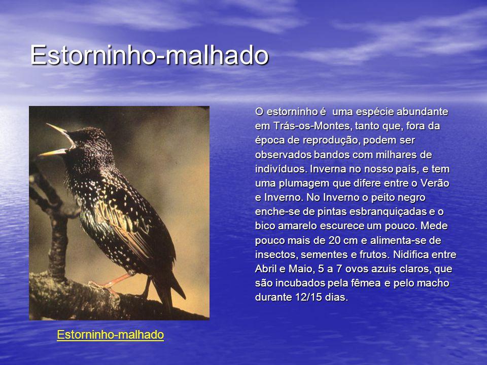 Estorninho-malhado O estorninho é uma espécie abundante em Trás-os-Montes, tanto que, fora da época de reprodução, podem ser observados bandos com milhares de indivíduos.