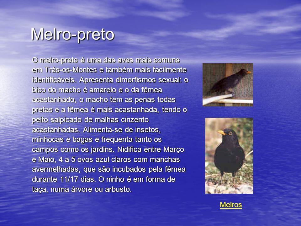 Melro-preto O melro-preto é uma das aves mais comuns em Trás-os-Montes e também mais facilmente identificáveis.