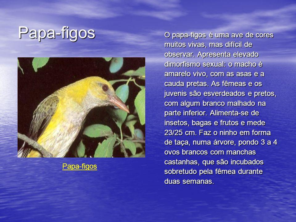 Papa-figos O papa-figos é uma ave de cores muitos vivas, mas difícil de observar.