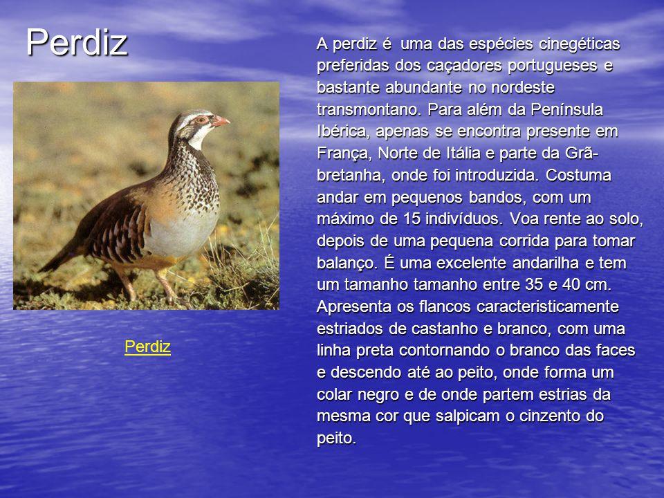 Perdiz A perdiz é uma das espécies cinegéticas preferidas dos caçadores portugueses e bastante abundante no nordeste transmontano.