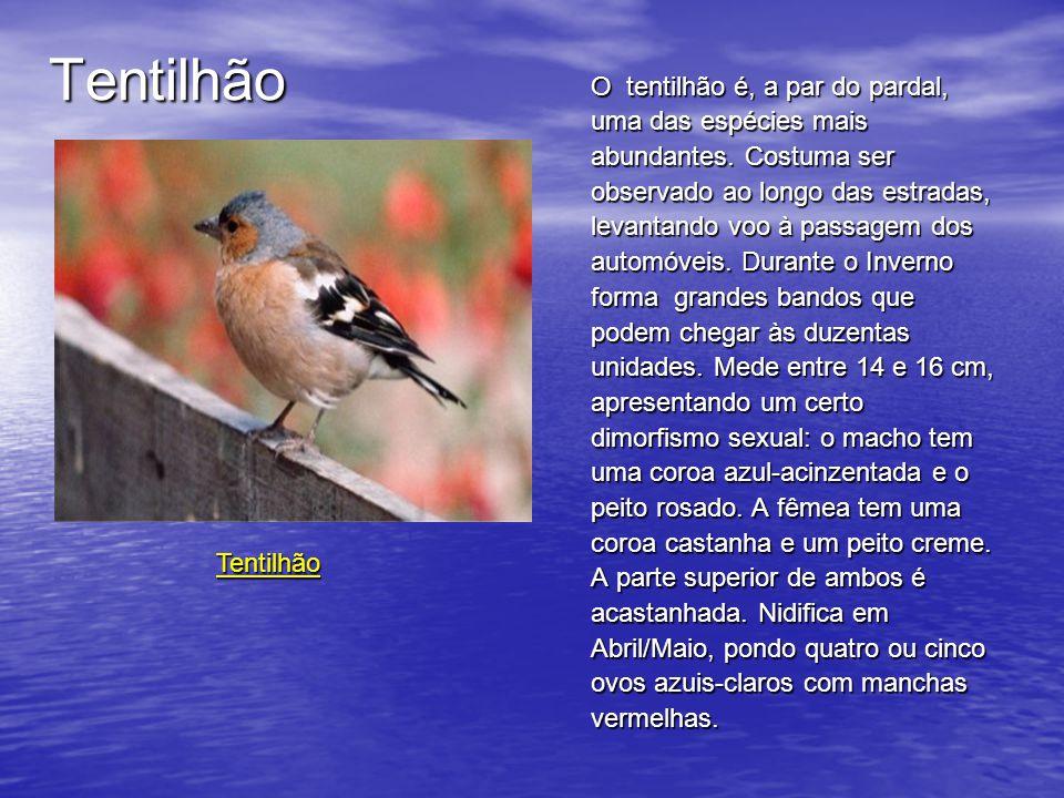 Tentilhão O tentilhão é, a par do pardal, uma das espécies mais abundantes.