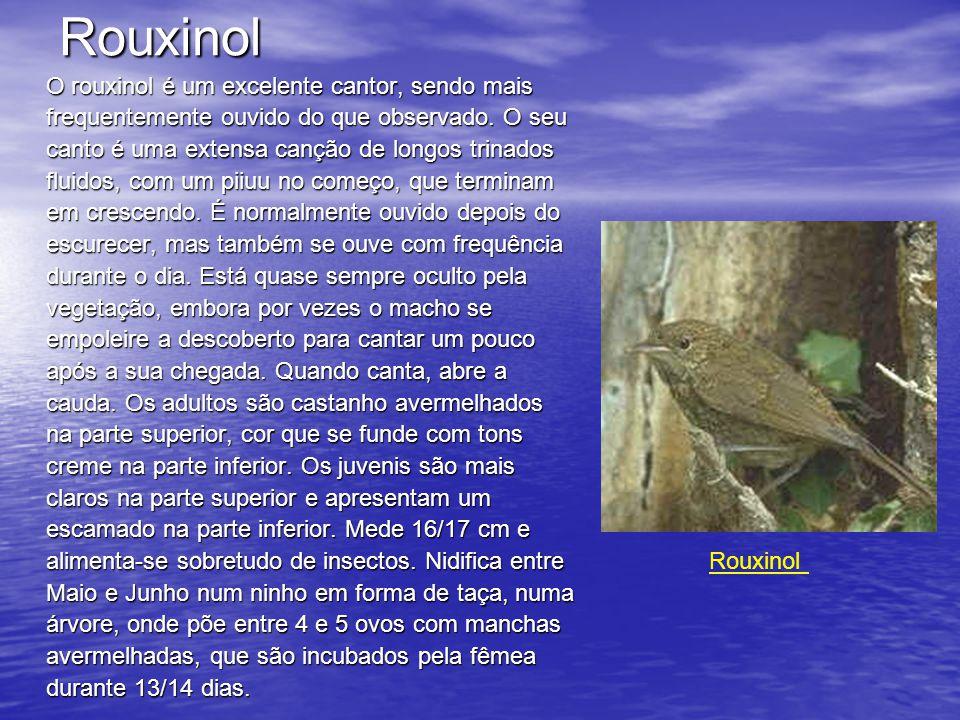 Rouxinol O rouxinol é um excelente cantor, sendo mais frequentemente ouvido do que observado.