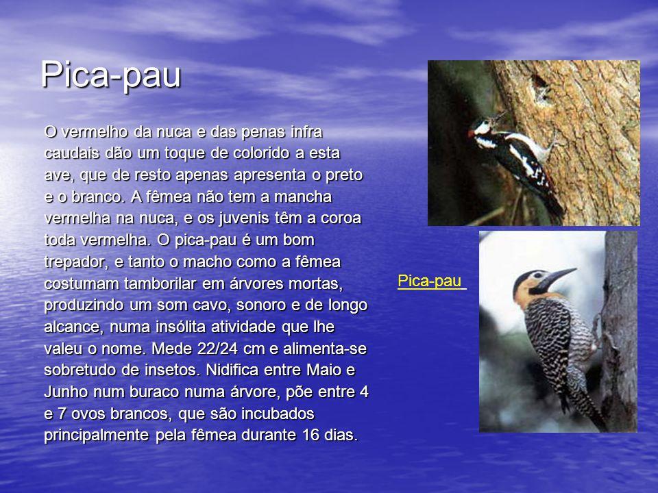 Pica-pau O vermelho da nuca e das penas infra caudais dão um toque de colorido a esta ave, que de resto apenas apresenta o preto e o branco.
