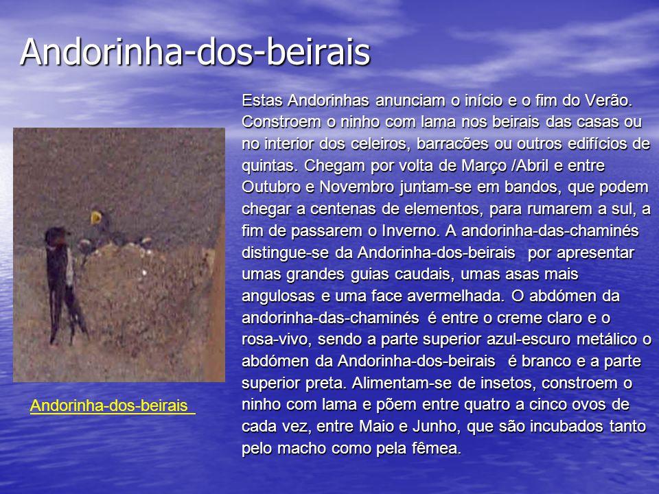 Andorinha-dos-beirais Estas Andorinhas anunciam o início e o fim do Verão.