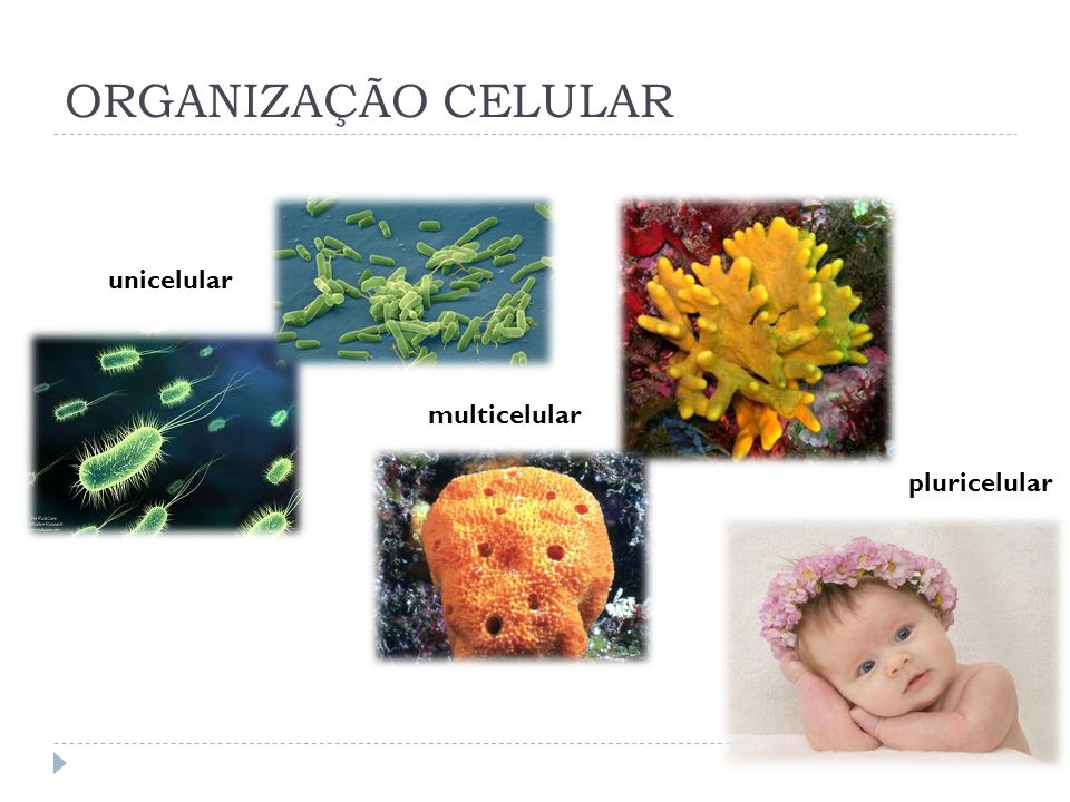 ORGANIZAÇÃO CELULAR unicelular multicelular pluricelular
