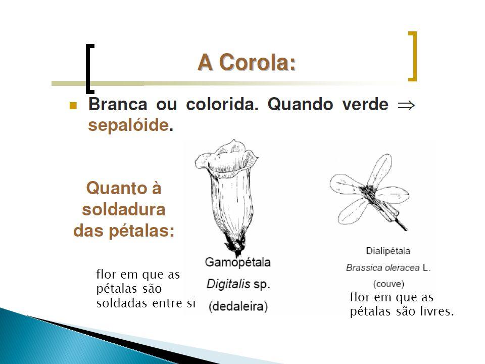 flor em que as pétalas são soldadas entre si flor em que as pétalas são livres.