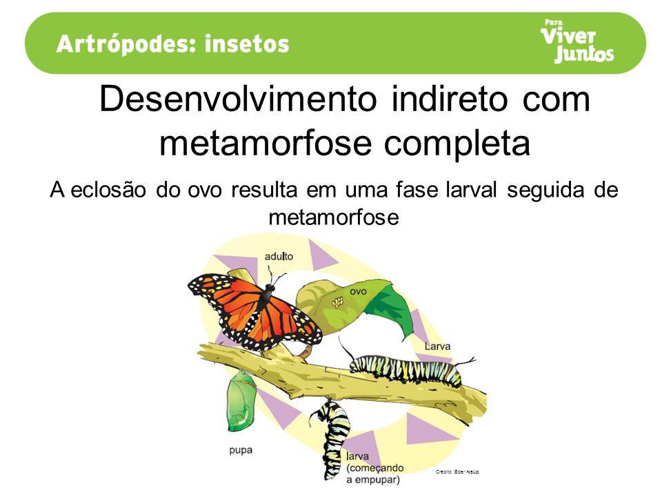 Desenvolvimento indireto com metamorfose completa A eclosão do ovo resulta em uma fase larval seguida de metamorfose Crédito: Éder Araújo