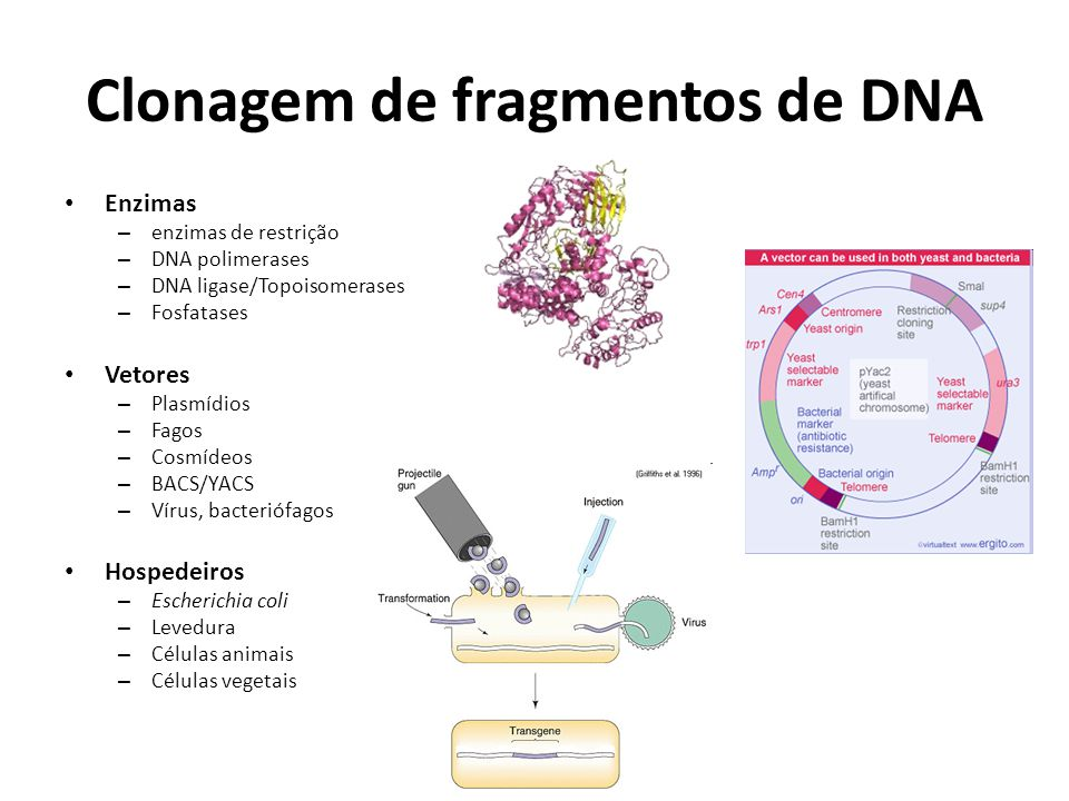 Clonagem de fragmentos de DNA Enzimas – enzimas de restrição – DNA polimerases – DNA ligase/Topoisomerases – Fosfatases Vetores – Plasmídios – Fagos –