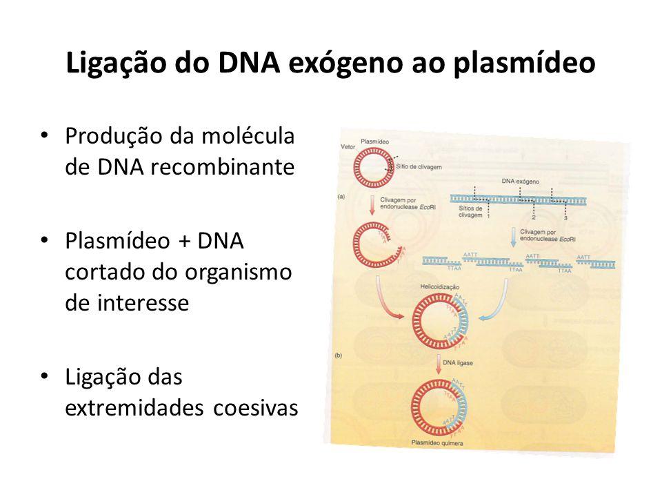 Ligação do DNA exógeno ao plasmídeo Produção da molécula de DNA recombinante Plasmídeo + DNA cortado do organismo de interesse Ligação das extremidade