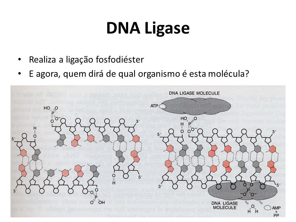 DNA Ligase Realiza a ligação fosfodiéster E agora, quem dirá de qual organismo é esta molécula?