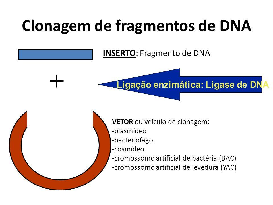 Clonagem de fragmentos de DNA INSERTO: Fragmento de DNA VETOR ou veículo de clonagem: -plasmídeo -bacteriófago -cosmídeo -cromossomo artificial de bac