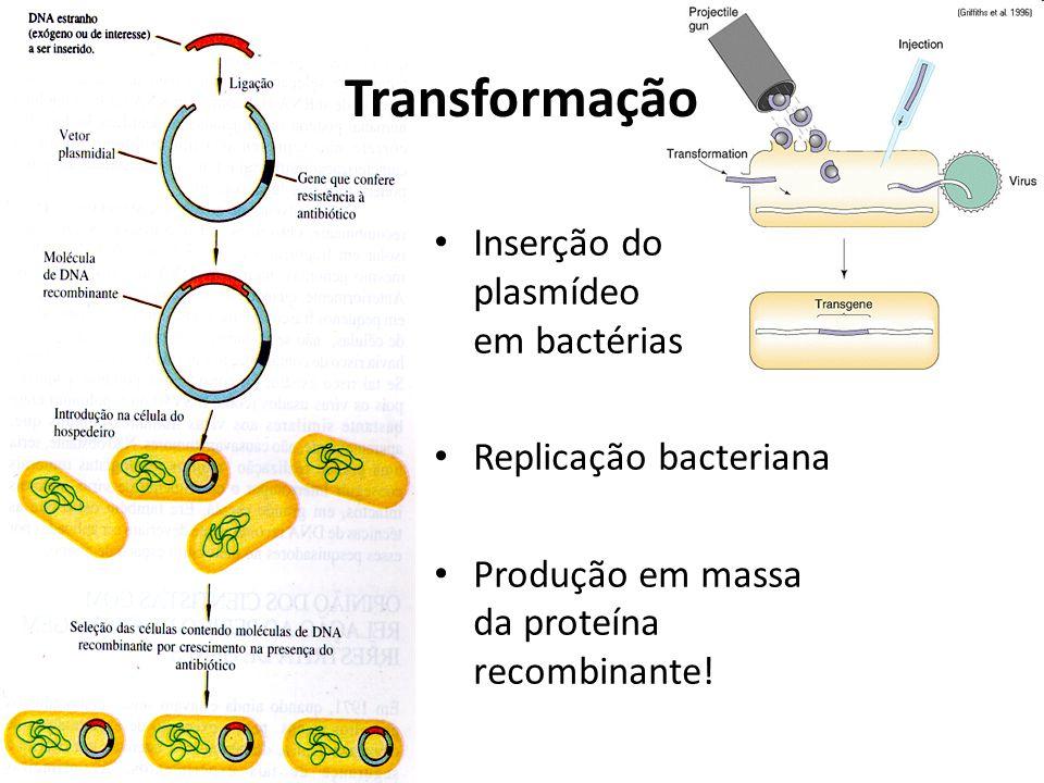 Transformação Inserção do plasmídeo em bactérias Replicação bacteriana Produção em massa da proteína recombinante!