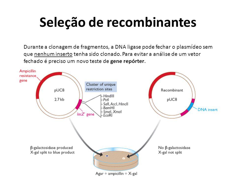 Seleção de recombinantes Durante a clonagem de fragmentos, a DNA ligase pode fechar o plasmídeo sem que nenhum inserto tenha sido clonado. Para evitar