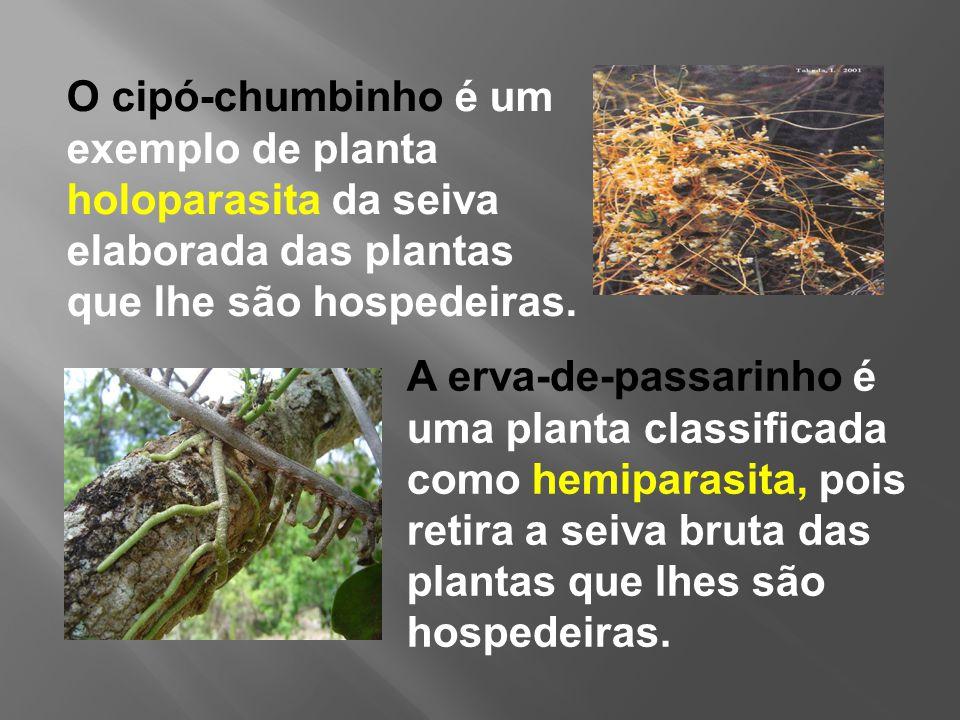 O cipó-chumbinho é um exemplo de planta holoparasita da seiva elaborada das plantas que lhe são hospedeiras.