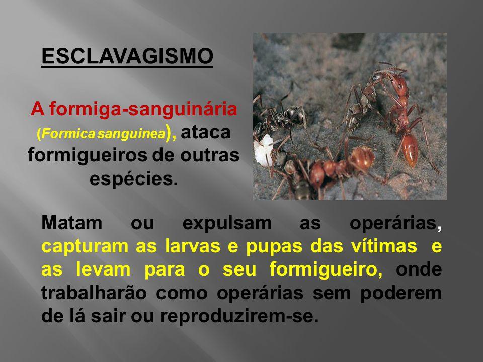 ESCLAVAGISMO A formiga-sanguinária (Formica sanguinea ), ataca formigueiros de outras espécies.