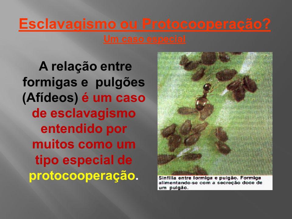 A relação entre formigas e pulgões (Afídeos) é um caso de esclavagismo entendido por muitos como um tipo especial de protocooperação.