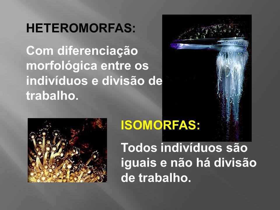 HETEROMORFAS: Com diferenciação morfológica entre os indivíduos e divisão de trabalho.