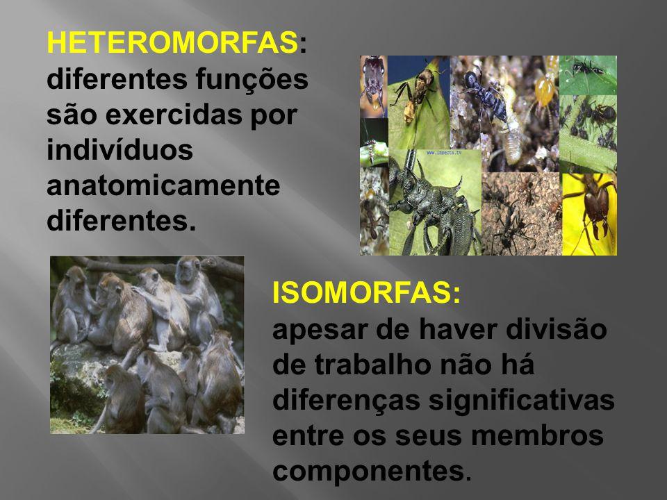 HETEROMORFAS: diferentes funções são exercidas por indivíduos anatomicamente diferentes.