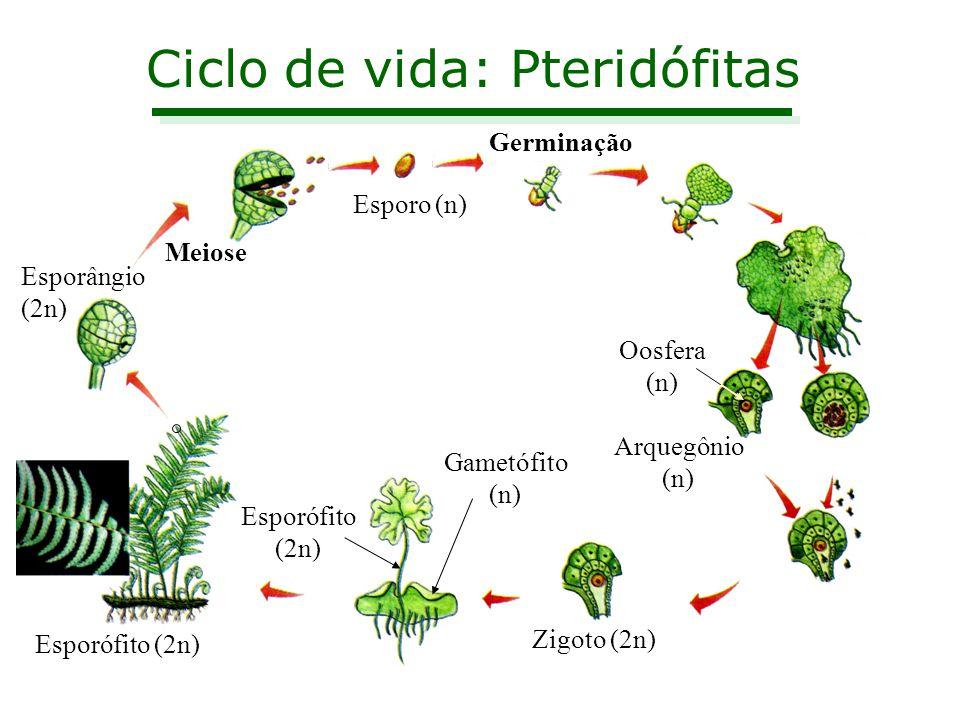 Ciclo de vida: Pteridófitas Esporângio (2n) Meiose Esporo (n) Germinação Arquegônio (n) Zigoto (2n) Esporófito (2n) Oosfera (n) Gametófito (n) Esporóf