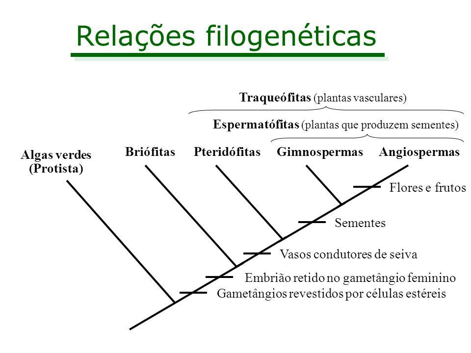 Relações filogenéticas Algas verdes (Protista) BriófitasPteridófitasGimnospermasAngiospermas Gametângios revestidos por células estéreis Embrião retid