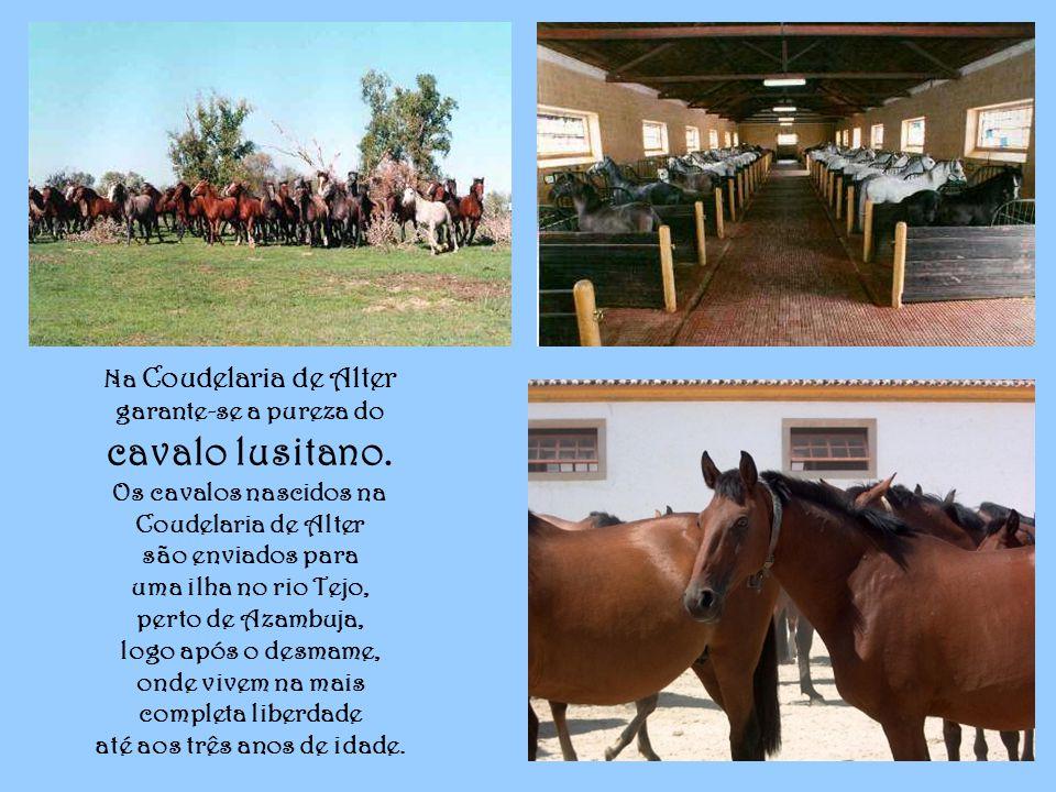 Na Coudelaria de Alter garante-se a pureza do cavalo lusitano.
